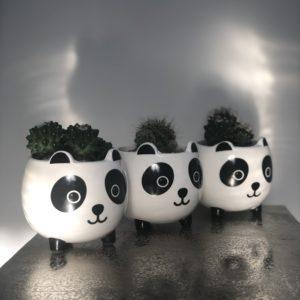 3 cacti in panda plant pots